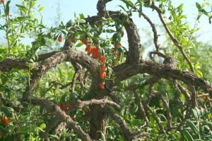 Come coltivare il goji lycium barbarum dal seme for Coltivazione goji in vaso