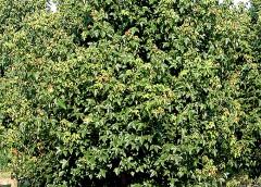 La semina dell'Acero Tridente (Acer Buergerianum)