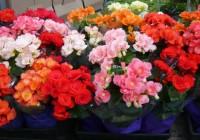 Begonia elatior; una fioritura esplosiva!