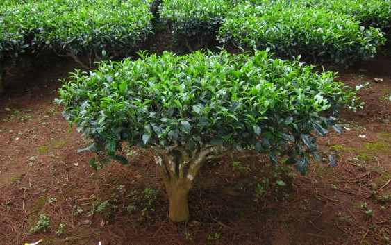 La pianta del tè verde. Come coltivarla