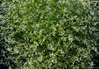 "L' Euphorbia hybrid ""Diamond Frost"""