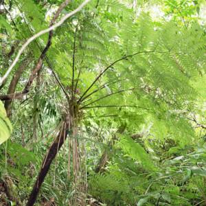 Felce-Arborea-delle-Filippine-Cyathea-fenicis-3-555x555