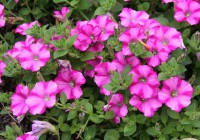 "PW ""Raspberry Blast???: la nuova varietà di Petunia pendula"