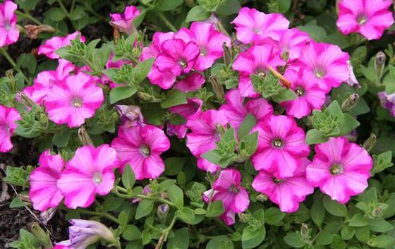 Pw raspberry blast la nuova variet di petunia for Petunie perenni