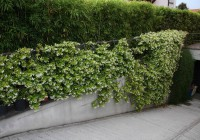 Rynchospermum jasminoides