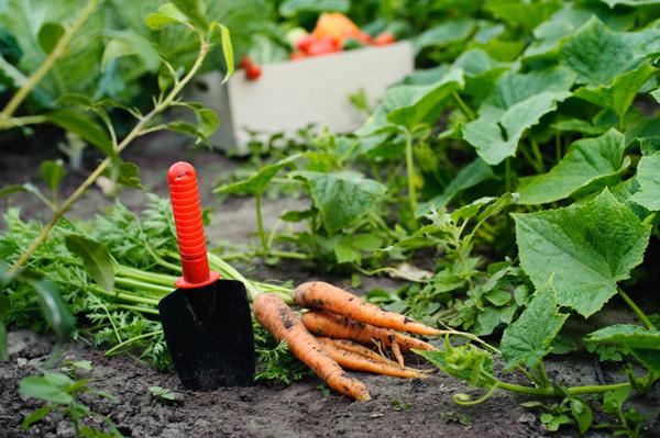 I lavori dell 39 orto autunnali quali ortaggi piantare e for Cosa piantare nell orto adesso