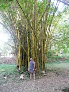 Coltivare il bamb gigante dendrocalamus strictus dal for Vendita piante bambu gigante