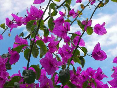 Conosciamo la bouganville bougainvillea e scopriamo come for Bouganville fioritura