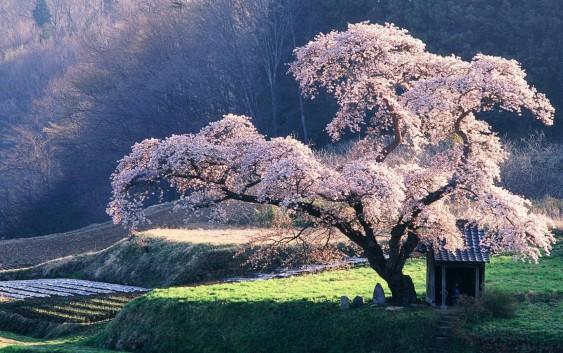 Il ciliegio selvatico tripudio di fiori in primavera for Pianta di ciliegio