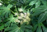 Aralia o Fatsia japonica