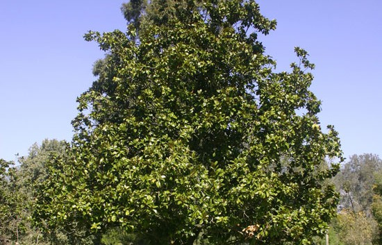 Magnolia grandiflora giardinaggio magazine la rivista for Magnolia pianta prezzi
