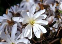 Magnolia Stellata, una battaglia tra botanici per una pianta in estinzione.