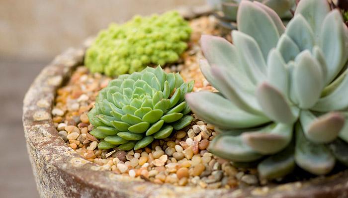 Piante grasse giardinaggio magazine la rivista online for Piante grasse succulente