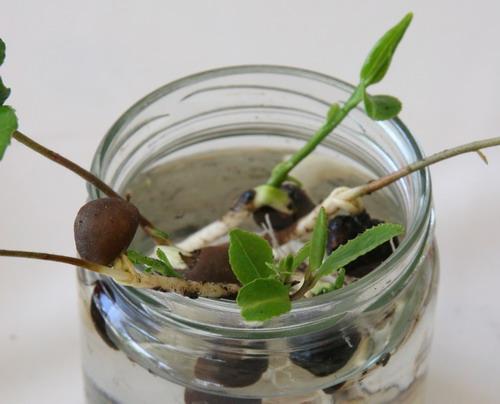 Radicante in polvere per talee legnose giardinaggio - Siepe di ulivo ...