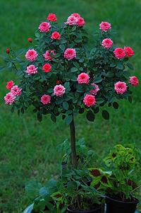 Le rose storia e tipologie giardinaggio magazine la for Piante ad alberello