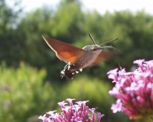 sfinge-colibri-300x238.jpg