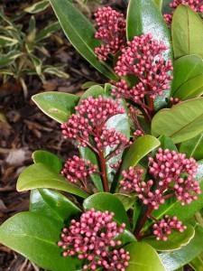 Skimmia japonica rubella giardinaggio magazine la for Skimmia pianta