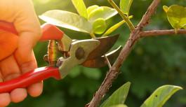 Piante da frutto e potatura