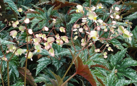 Begonia Gryphon, regina dell'ombra