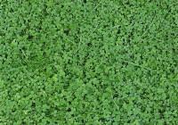 Trifoglio nanissimo: varietà di Trifolium repens