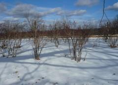Arbusti d'inverno