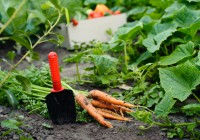 I lavori dell'orto autunnali, quali ortaggi piantare e come coltivarli