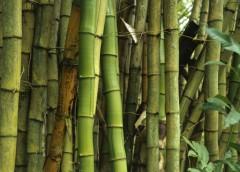 Coltivare il Bambù Gigante (Dendrocalamus strictus) dal seme