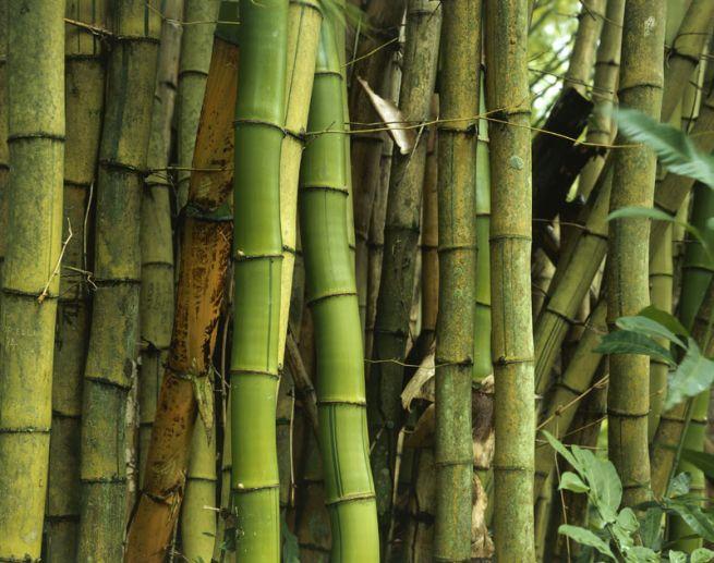 Vendita Piante Bambu Milano.Coltivare Il Bambu Gigante Dendrocalamus Strictus Dal Seme