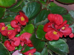 begonia-elatior