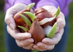 I bulbi autunnali, quali bulbi piantare e come coltivarli