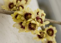 Calicanto d'inverno (Chimonanthus praecox)