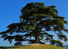 La semina del Cedro del Libano (Cedrus Libani)