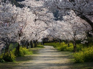 cherry-trees-walkway_13297_600x450