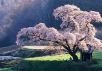 Il ciliegio selvatico: tripudio di fiori in primavera!