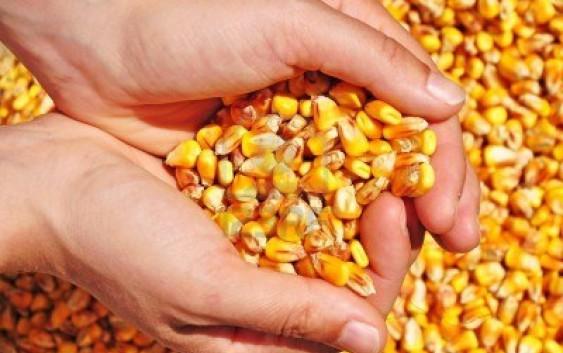 Coltivazione del Mais Dolce (Zea Mays)