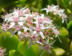crassula-fiore