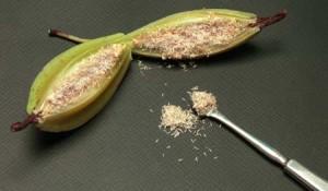 Come coltivare le orchidee da seme giardinaggio for Semi orchidea